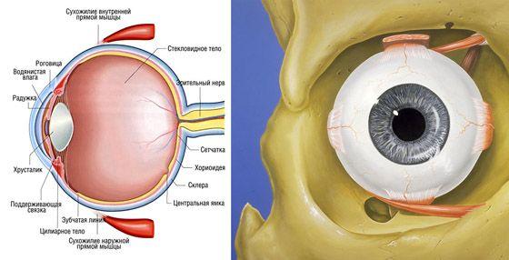 анатомия глаза и зрительных нервов