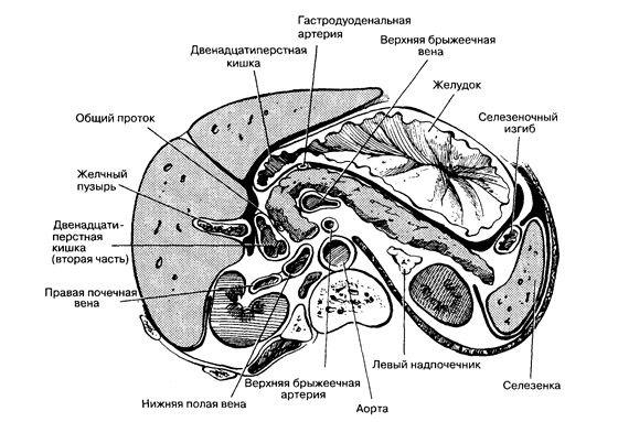 органы брюшной полости вид сверху